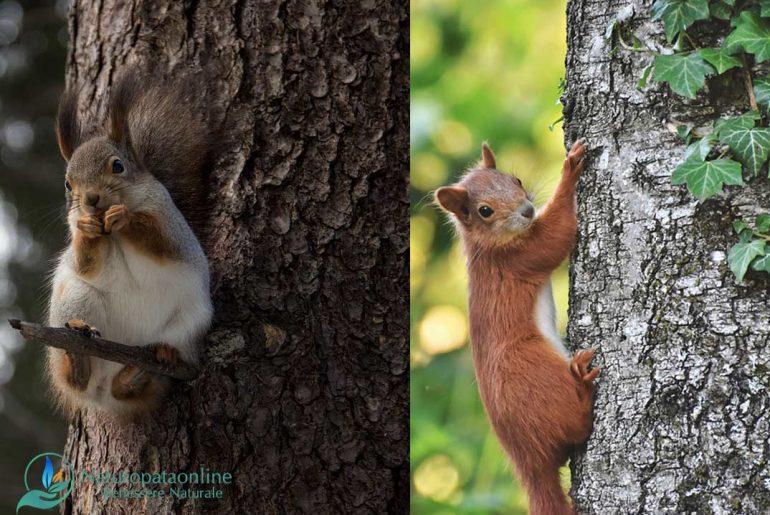 scoiattolo-rosso-albero