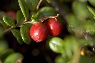 mirtillo-rosso