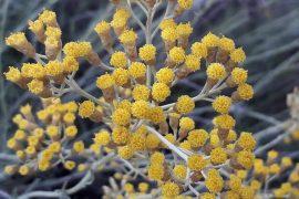 Helicrysum-Italicum