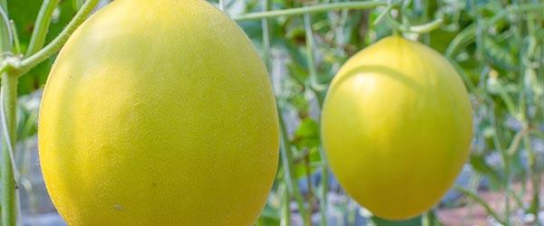 melone-delle-canarie