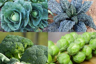 verdure-crucifere